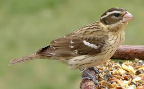 female grosbeak.jpg