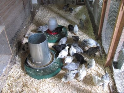 Barn cage used as a grow out pen.jpg