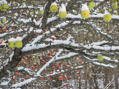 Snow on apples.jpg