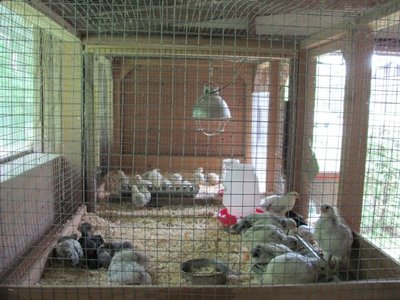 Barn brooder chicks 2.jpg