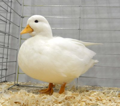Res Bantam Duck White Call Young Female by Maguire Smale.jpg